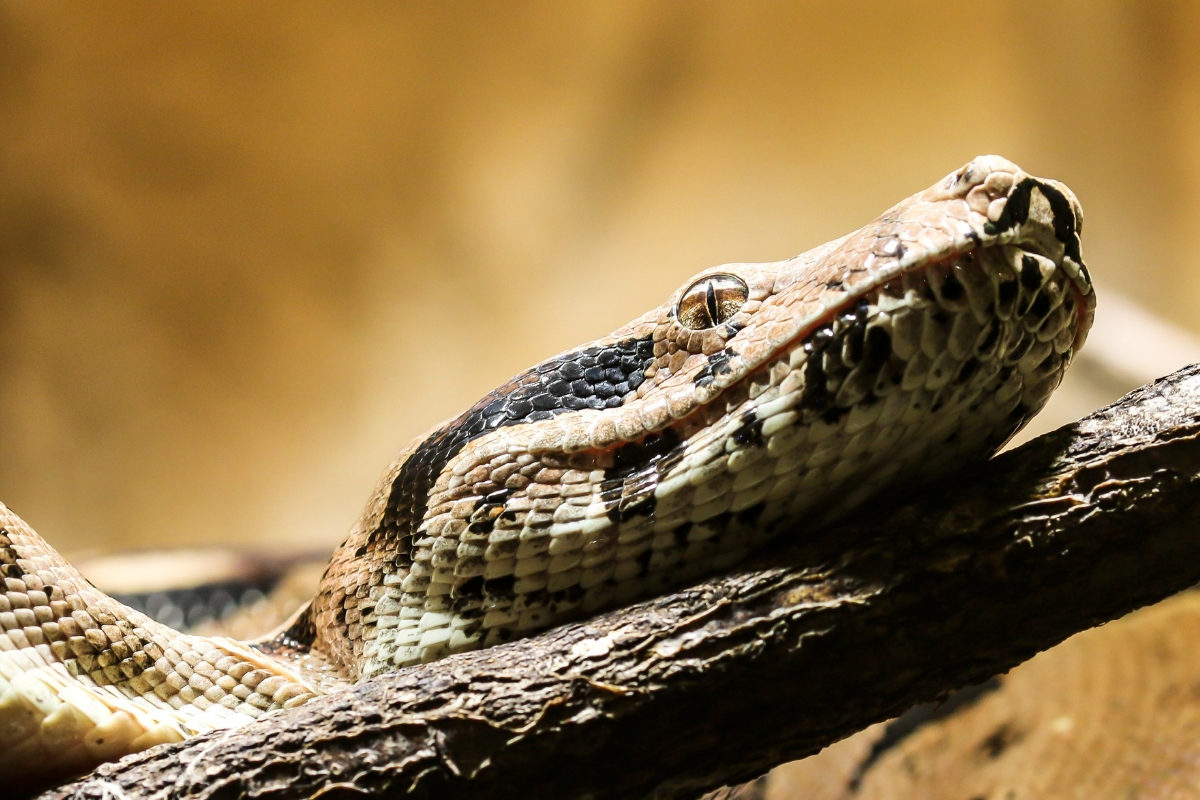 face of Boa Constrictor resting on a branch