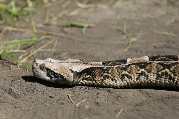 gaboon viper slithers through dirt and grass