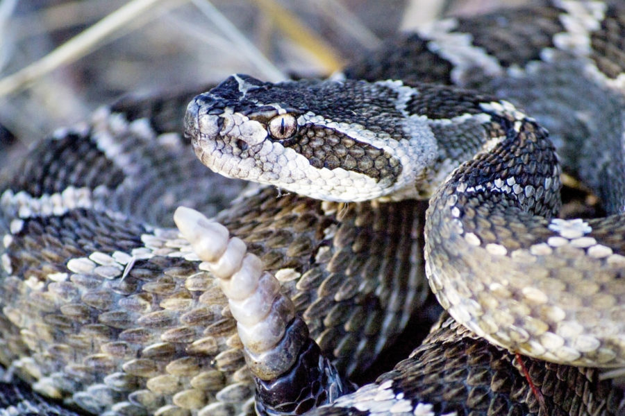 white and gray rattlesnake coiled with tail raised