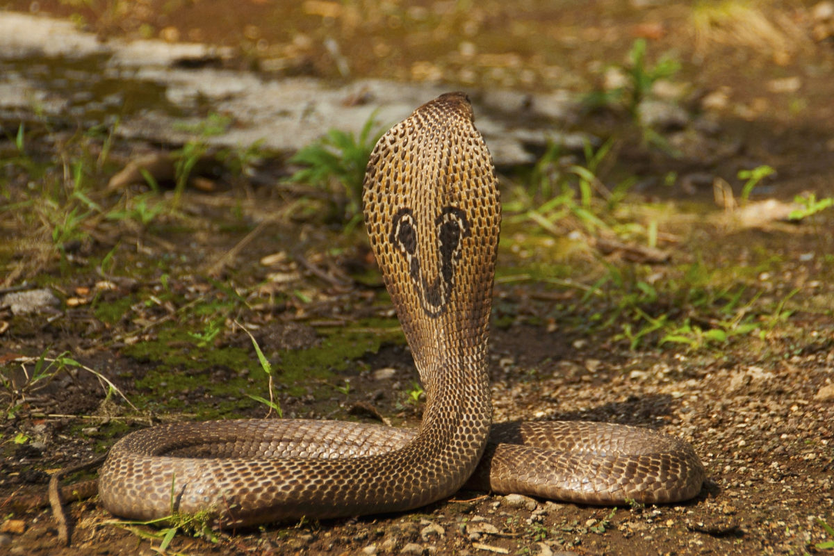rear view of spectacled cobra in India