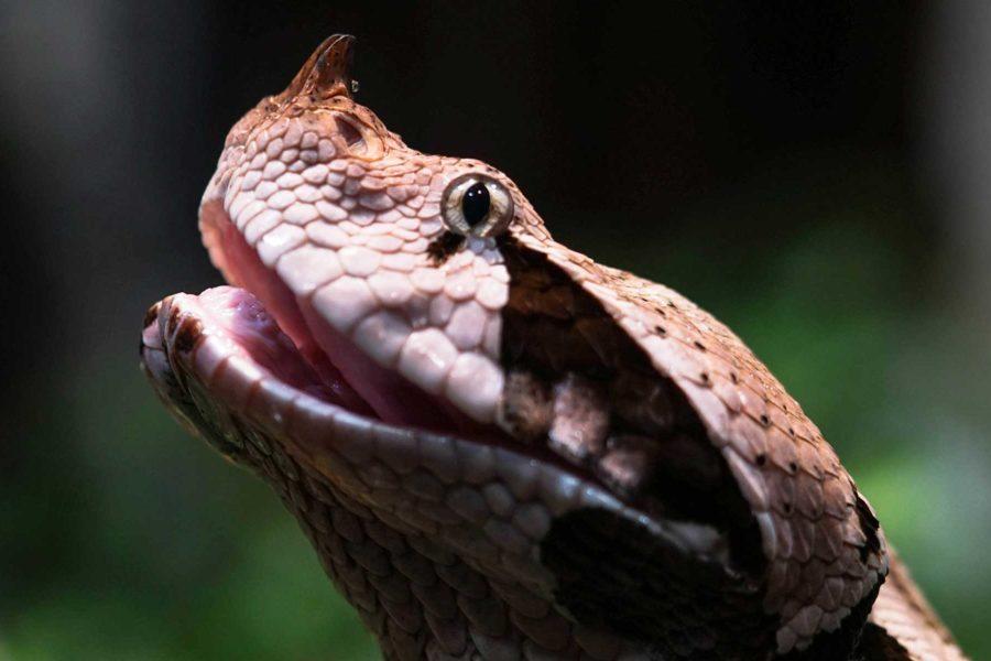 gaboon viper venomous snake